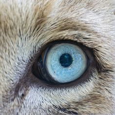 This is the nice blue eye of Zumba the white lion!