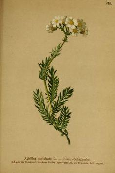2 - 1882 - Atlas der Alpenflora / herausgegeben vom Deutschen und Oesterreichischen Alpenverein ; by  Anton Hartinger