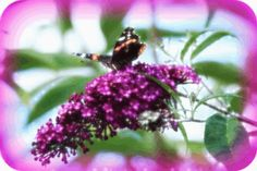 Butterfly photo ma17-35.gif