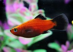 Some Aspects of Different Types of Saltwater Aquariums Saltwater aquariums should generally contain fewer fish than fresh water tanks, because the species Danio Fish, Swordtail Fish, Platy Fish, Saltwater Fish Tanks, Saltwater Aquarium, Saltwater Fishing, Nature Aquarium, Best Aquarium Filter, Fish Breeding