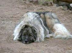 Caucasian Ovcharka Mountain Dog Mountain Dogs, Animals, Animales, Animaux, Animal, Animais