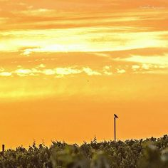 My favorite sunrise location with my favorite Red Tail Hawk on 'his' favorite perch. Good morning from California Wine Country.#worldbestgram #visualsgang #splendid_animals #postcardsfromtheworld #bns_family #bestnatureshot #ig_today #ig_countryside #ig_week_sunsets #visual_heaven #ig_bd #fotocatchers #special_shots #visitnapavalley  #nature_wizards #nuc_member #sunset_in_bl #visualsoflife #rsa_nature #sky_sultans #igrecommend_me #bns_sunset #nature_skyshotz #loves_bestpic #ig_serenity…