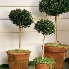 Beautiful, living boxwood topiaries.  Boxwood is very hardy and allows easy 'shaping' while thriving.  Beautiful, Lush Green Foliage.  Southern-Living.Com