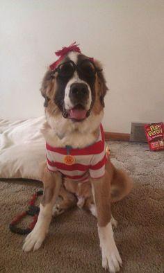 Dog Halloween Costume Contest: Bernie as Waldo