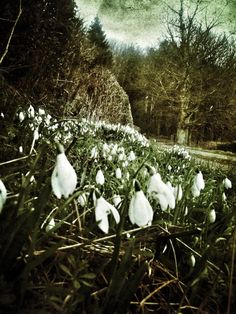 Snowdrops in the woods above Ross on Wye, Herefordshire