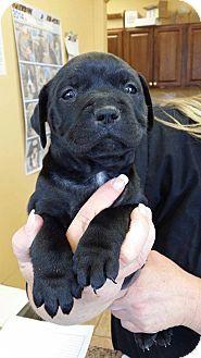 Garden City, MI - American Pit Bull Terrier Mix. Meet Cadet a Puppy for Adoption.