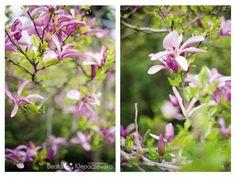 Magnolie wiosenne