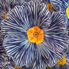 The Zebra Blue Primrose, aka Primula Tie Dye. I'm one zone shy of welcoming this to my garden.