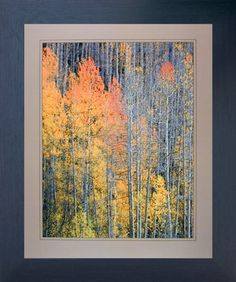 Forest Aspen Tree in the Fall Willard Clay Nature Wall Decor Espresso Framed Pic Nature Images, Nature Pictures, Art Pictures, Framed Pictures, Forest Scenery, Tree Forest, Landscape Artwork, Landscape Walls, Birch Tree Art