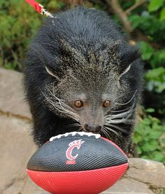 """""""GO BEARCATS: Lucy the bearcat is ready for some football."""""""