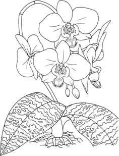 coloring pages of orchids | Phalaenopsis Schilleriana or Tropical Rosy Moth Orchid coloring page