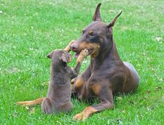 The Doberman Pinscher is among the most popular breed of dogs in the world. Known for its intelligence and loyalty, the Pinscher is both a police- favorite Rottweiler, Weimaraner, Animals And Pets, Cute Animals, Doberman Love, Doberman Pinscher Dog, Mundo Animal, Beautiful Dogs, Dog Life