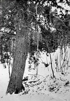 """The Dyatlov Pass Incident - Forced by an """"unknown compelling force"""" to flee their tent in the middle of the night, the 9 hikers from the Dyatlov group faced total darkness and -13° weather. After being separated from their comrades, two took refuge under this cedar tree. Georgiy Krivonischenko and Yuri Doroshenko built a fire and huddled close. They died together, likely passing out from hypothermia. Rescuers discovered their bodies nearly a month later."""