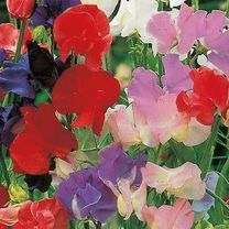 Sweet Pea Seeds - Old Fashioned Scented Mix at Suttons Seeds