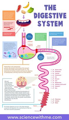 Digestive System Pictures For Kids . Digestive System Pictures For Kids Digestive System For Kids Nutrition For Kids Secondary Science Nutrition Classes, Nutrition Education, Kids Nutrition, Health And Nutrition, Nutrition Guide, Nutrition Activities, Science Activities, Spinach Nutrition, Study Tips
