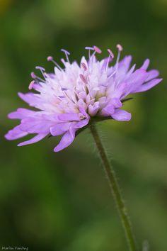 Violet wild flower.