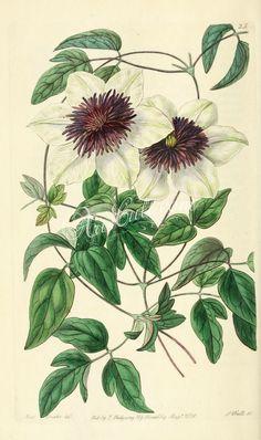 025-clematis florida bicolor, Siebold's Clematis      ...