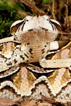 Gaboon viper (Bitis gabonica) is a venomous viper species found in the rainforests and savannas of sub-Saharan Africa. This is not only the largest member of the genus Bitis, but also the world's heaviest viperid and it has the longest fangs, up to 2 inches (5 cm), and the highest venom yield of any venomous snake.
