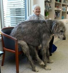 Big Dogs That Think Theyre Lap Dogs This Is GUARANTEED To Make You Smile