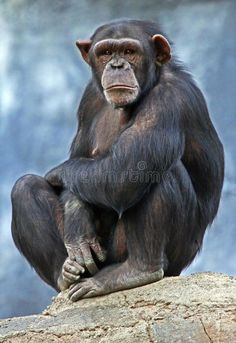 Photo about Sad Chimp Sitting on a Rock. Image of crazy, animal, grey - 12019727 Animals Images, Animals And Pets, Cute Animals, Reptiles, Mammals, Wild Animals Photography, Ape Monkey, Alien Creatures, Animal Posters