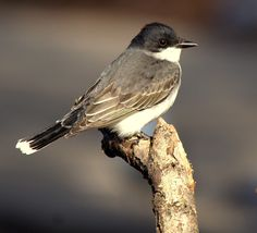 The Eastern King Bird