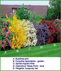Flowering Shrubs Hedge - 5 beautiful bushes to plant in the yard. good for privacy and very easy on the eye! such pretty colors! buddiea(pink),forsythia spectabilis(yellow), spirea arguta(white), ceanothus yankee point(blue), and weigelia(burgundy) Flowering Bushes, Planting Flowers, Plants, Backyard Garden, Planting Shrubs, Outdoor Gardens, Dream Garden, Landscape, Beautiful Gardens