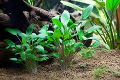 Cryptocoryne wendtii 'green' is suitable for small aquariums. When grown in an open space the leaves will virtually lie on the bottom. Like most other Sri Lanka Cryptocorynes it also grows well in ha...