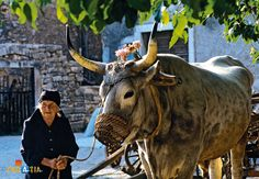 Boškarin is a famous Istrian cattle. This animal is one of the oldest and largest cattle breeds in the world. This animal weighs up to 1.5 tons, has a great physical stamina and has long horns decorated with brass balls. He has become a rarity.  This cattle was very widespread in Istria to the mid-XX century, and since then there are only a few hundred. Very typical of working animals, the peaceful nature of which was used for plowing and hauling.