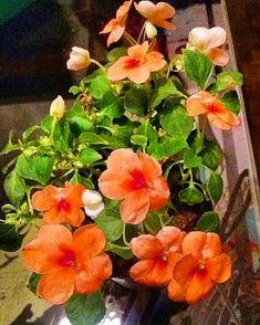 Mejores 11 im genes de alegria del hogar en pinterest alegria del hogar plantas y - Planta alegria del hogar ...