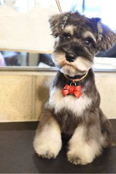 """Acquire great pointers on """"schnauzer puppies"""". They are actually accessible for you on our website. Schnauzer Breed, Schnauzer Grooming, Miniature Schnauzer Puppies, Schnauzers, Cute Little Puppies, Cute Puppies, Cute Animal Pictures, Dog Pictures, Baby Dogs"""