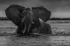 Just another WordPress site Black N White Images, Black And White, Wildlife, Elephant, Lens, African, My Favorite Things, Photography, Animals