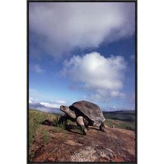 Global Gallery Galapagos Tortoise on Caldera Rim, Alcedo Volcano, Isabella Island, Galapagos Islands, Ecuador by Tui De Roy Framed Photographic Pri...