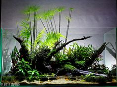 2011 AGA Contest Entry #384: 180L Paludarium: Cyperus home by Dyego Ramon