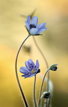 Hepatica by Mycatherina - Photo 146710573 - 500px