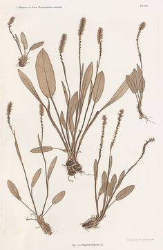 """design-is-fine: """" Constantin von Ettingshausen & A. Pokorny, Nature prints, 1855. Via gallerie Bassenge """" The Austrian botanists began using an early method of reproduction (nature prints) as a means..."""