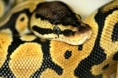 My python christy!