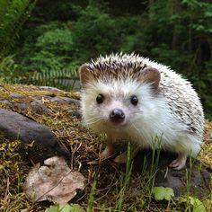 marjoleinhoekendijk:  creatures-alive:  (via biddythehedgehog on Instagram)   Isn't he the cutest?