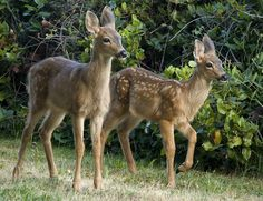 Two Fawns by AngelaDice, via Flickr