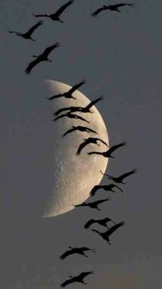 Birds/ducks/geese flying in the sky before a beautiful moon. Beautiful Moon, Beautiful Birds, Beautiful World, Beautiful Things, Amazing Photography, Art Photography, Flying Photography, Silhouette Photography, Shoot The Moon