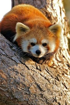 Red Pandas are so cute! Scary Animals, Cute Baby Animals, Animals And Pets, Funny Animals, Baby Pandas, Wild Animals, Amor Animal, Mundo Animal, Beautiful Creatures