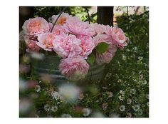 Pink Gruss an Achen Rose in-Bucket  disease resistant