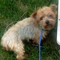 Lizzy is an adoptable Yorkshire Terrier Yorkie Dog in Lakewood, CO. Lizzy is purebred Yorkie. She was a prior breeder that had been on death row. She is about 4 years old and is non-shedding. She is s...