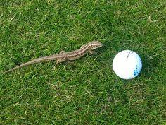 Wer behauptet Golf ist langweilig, der war noch nie bei uns und hat gemeinsam mit den Eidechsen eine Runde gedreht! ;-)