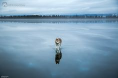 Сибирские хаски на озере   Фото хаски и маламуты