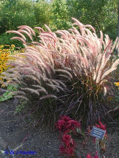 1000 images about ornamental grasses for zone 4 and colder on pinterest ornamental grasses. Black Bedroom Furniture Sets. Home Design Ideas