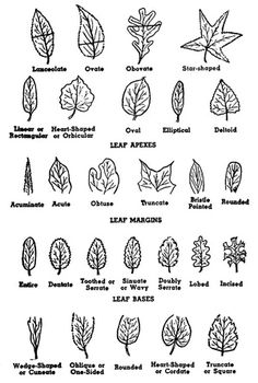 Learning a tree's botanical parts is useful for tree owner and forest manager. These tree parts and markers help make positive tree identification.: Parts of a Tree, Use Leaf Shape to Identify a Tree Fruit Trees, Trees To Plant, Tree Planting, Tree Leaf Identification, Leaf Structure, Shape Names, Tree Study, Arbour Day, Plant Science