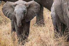 Foto gratis: Bebê Elefante, Safari, Elefantes - Imagem gratis no Pixabay - 285515