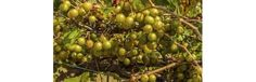 Muscadine grapevines, which have bronze-colored fruits, are sometimes called Scuppernong grapes.