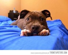 Oh man that is cute! :) I love a pit bull face!!!!