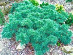 Pinus strobus 'Krugers Lilliput')